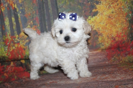 Liza (Minnie) Female CKC Maltipoo $2000 Ready 9/26 SOLD MY NEW HOME DOVER, DE 1 lb 6 oz 7 Weeks Old