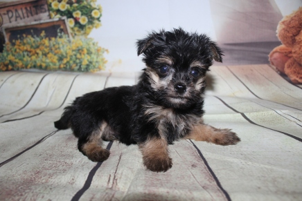 Loki Male CKC Havashire $2000 Ready 9/25 HAS DEPOSIT MY NEW HOME ORLANDO, FL 1 lbs 3.5 oz 6 Weeks Old