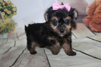 Lulu Female CKC Havashire $2000 Ready 9/25 HAS DEPOSIT MY NEW HOME ORMOND BEACH, FL 1 lb 7 oz 6 Weeks Old