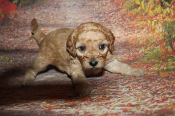 Milky Way Male CKC Mini Labradoodle $2000 Ready 10/23 HAS DEPOSIT MY NEW HOME JACKSONVILLE, FL 1lb 12oz 4 Weeks old