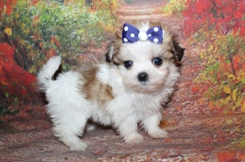 Millie Female CKC Malshi $2000 Ready 10/2 HAS DEPOSIT MY NEW HOME HOYIE HILLS, FL 1 lb 4 oz 6W5D Old