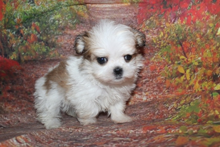 Milo Male CKC Malshi $2000 Ready 10/2 HAS DEPOSIT MY NEW HOME JACKSONVILLE, FL 1 lb 4.5 oz 6W5D Old