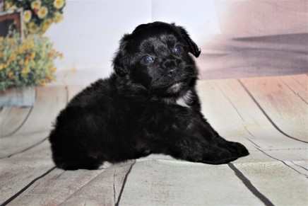 Obie Male CKC Shihpoo $2000 Ready 10/06 SOLD MY NEW HOME JACKSONVILLE, FL 1 lb 4 oz 4W3D Old