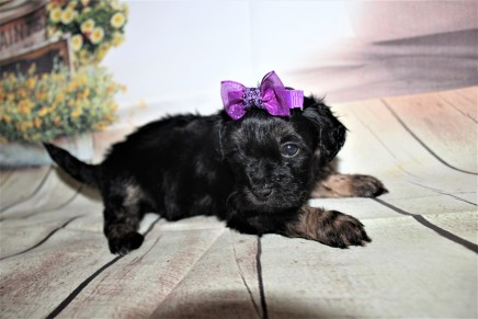 Olive Female CKC Shihpoo $2000 Ready 10/06 HAS DEPOSIT MY NEW HOME LAWERENCE, GA 1 lb 8 oz 4W3D Old