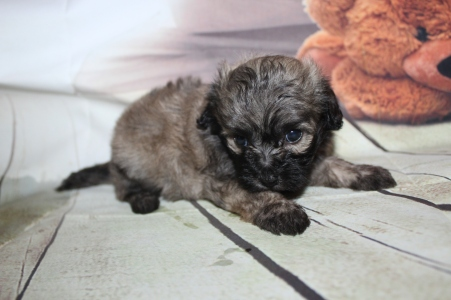 Oliver Male CKC Shihpoo $2000 Ready 10/06 SOLD MY NEW HOME ST JOHNS, FL 1 lb 8 oz 4W3D Old