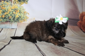 Olivia Female CKC Shihpoo $2000 Ready 10/06 HAS DEPOSIT MY NEW HOME PORT CHARLOTTE. FL 1 lb 2 oz 4W3D Old