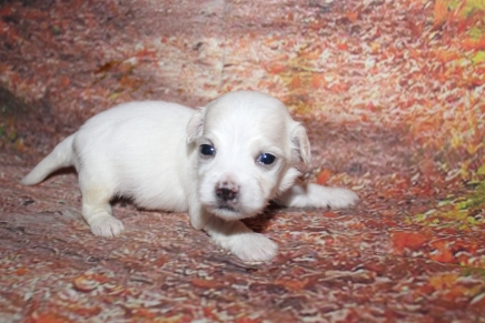 Raleigh Male CKC Havanese $2000 Ready 10/29 HAS DEPOSIT MY NEW HOME PONTE VEDRA BEACH, FL 15 oz 3 Weeks Old