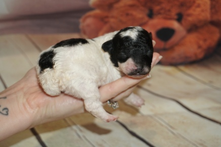 Ricky (Oreo) Male CKC Toy Poodle $2000 Ready 10/30 HAS DEPOSIT MY NEW HOME RICHMOND, RI 7.9 oz 1 Week Old
