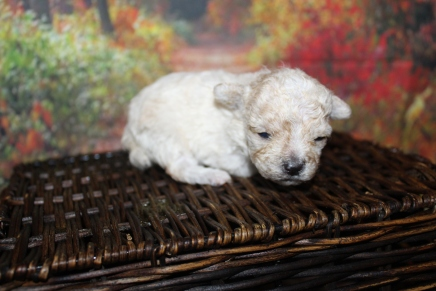 Teeny Weeny (Max) Male CKC Toy Poodle $2000 Ready 10/30 HAS DEPOSIT MY NEW HOME JACKSONVILLE, FL 8oz 2W5D old