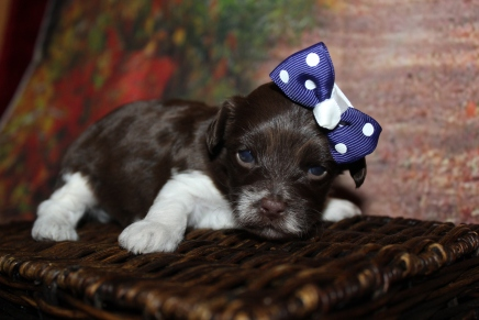 Wittness Female CKC Havapoo $2000 Ready 10/31 HAS DEPOSIT MY NEW HOME 1lb 2W3D old