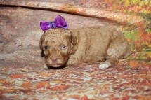 Alibi Female CKC Havapoo $2000 Ready 10/31 HAS DEPOSIT MY NEW HOME 1lb 3oz 2W3D old