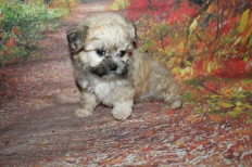 Bear Male CKC Shihpoo $2000 Ready 9/27 HAS DEPOSIT MY NEW HOME DULUTH, GA 1 lb 13 oz 7W3D Old