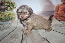 Bentley Male CKC Shihpoo $2000 Ready 9/27 HAS DEPOSIT 2 lb 5 oz 5W5D Old