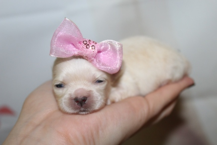 Champagne Female Miki $2000 Ready 10/24 HAS DEPOSIT MY NEW HOME HOLLY HILLS, FL 8oz 2W6D old