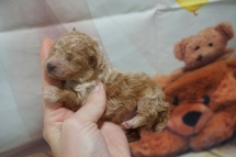 Lucy (Bella) Female CKC Toy Poodle $2000 Ready 10/30 HAS DEPOSIT MY NEW HOME JACKSONVILLE, FL 6 oz 1 Week Old