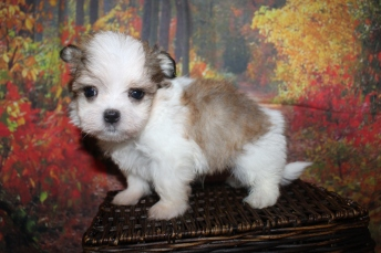 Miles Male CKC Malshi $2000 Ready 10/2 HAS DEPOSIT MY NEW HOME LAKELAND, FL 1 lb 11 oz 6W5D Old