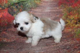 Miller (Nemo) Male CKC Malshi $2000 Ready 10/2 HAS DEPOSIT MY NEW HOME JACKSONVILLE, FL 1 lb 10.5 oz 6W5D Old