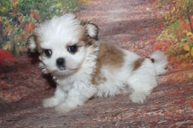 Milo Male CKC Malshi $2000 Ready 10/2 HAS DEPOSIT MY NEW HOME JACKSONVILLE, FL 1 lb 4.5 oz 6W5D