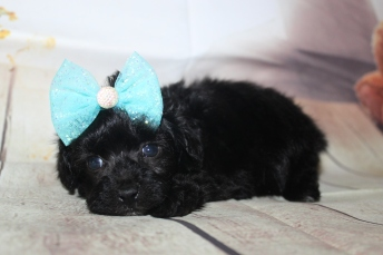 Onyx Female CKC Shihpoo $2000 Ready 10/06 SOLD MY NEW HOME BRUNSWICK, GA 1 lb 2 oz 4W3D Old
