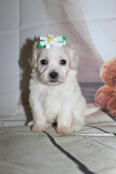 Opal (Annie) Female CKC Shihpoo $2000 Ready 10/06 SOLD MY NEW HOME PONTE VEDRA BEACH. FL 1 lb 6.5 oz 4W3D Old
