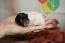Pippi Female CKC Havapoo $2000 Ready 11/6 HAS DEPOSIT MY NEW HOME 3.6oz 4 days old