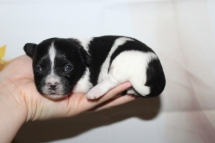 Porter Male Miki $2000 Ready 10/24 HAS DEPOSIT MY NEW HOME Arlington Heights, IL 13.5oz 2W6D old