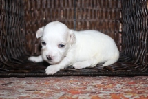 Savannah Female ale CKC Havanese $2000 Ready 10/29 HAS DEPOSIT MY NEW HOME JACKSONVILLE, FL 13 oz 3 Weeks Old