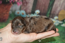 Smuckers Male CKC Yorkipoo $2000 Ready 6/20 HAS DEPOSIT MY NEW HOME ORD, FL 6.1 oz 3 Days old