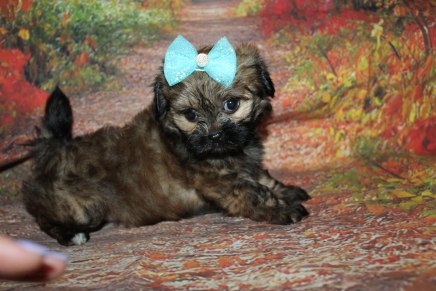 Brownie (Sophia) Female CKC Shihpoo $2000 Ready 9/29 HAS DEPOSIT MY NEW HOME PONTE VEDRA BEACH, FL 2 lbs 5OZ 7W1D Old
