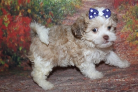 Buffy (Leeloo) Female CKC Shihpoo $2000 Ready 8/1 SOLD MY NEW HOME ROCKLEDGE, FL 1lb 7oz 7W3D Old