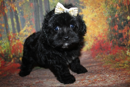 Lexie Female Male CKC Maltipoo $2000 Ready 9/26 SOLD MY NEW HOME CORAL GABLE, FL 1 lb 11.5 oz 7 Weeks Old