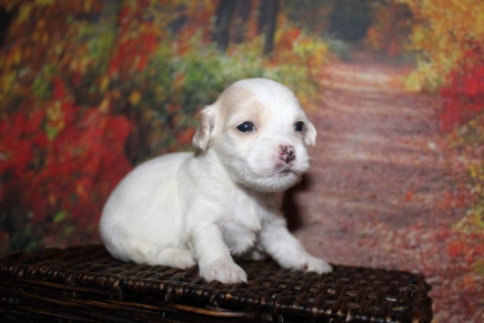Tex (Bentley) Male CKC Havanese $2000 Ready 10/29 HAS DEPOSIT MY NEW HOME JACKSONVILLE, FL 14 oz 3 Weeks Old