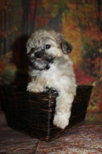Bear Male CKC Shihpoo $2000 Ready 9/27 SOLD MY NEW HOME DULUTH, GA 1 lb 13 oz 7W3D Old