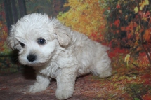 Louie Male CKC Maltipoo $2000 Ready 9/26 SOLD MY NEW HOME MIAMI, FL 1 lb 14 oz 7 Weeks Old