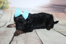 Olive Female CKC Shihpoo $2000 Ready 10/06 SOLD MY NEW HOME LAWERENCE, GA 1 lb 8 oz 4W3D Old