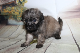 Oliver Male CKC Shihpoo $2000 Ready 10/06 HAS DEPOSIT MY NEW HOME ST JOHNS, FL 1 lb 8 oz 4W3D Old