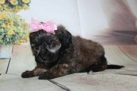 Olivia Female CKC Shihpoo $2000 Ready 10/06 SOLD MY NEW HOME PORT CHARLOTTE. FL 1 lb 2 oz 4W3D Old