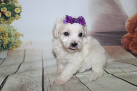 Opal (Annie) Female CKC Shihpoo $2000 Ready 10/06 HAS DEPOSIT MY NEW HOME PONTE VEDRA BEACH. FL 1 lb 6.5 oz 4W3D Old
