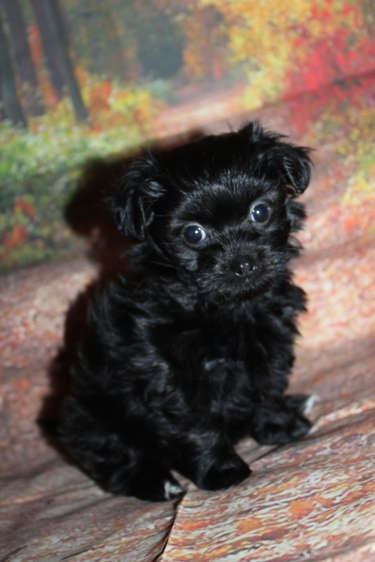 Bennie (Ben Hur) Female CKC Shihpoo $2000 Ready 9/29 SOLD MY NEW HOME JACKSONVILLE, FL 1 lb 13oz 7W1D Old