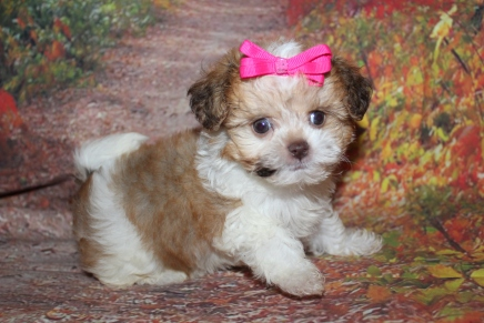 Brandy (Gracie) Female CKC Shihpoo $2000 Ready 9/27 SOLD MY NEW HOME ST MARYS, GA 1lb 7oz 7W3D Old