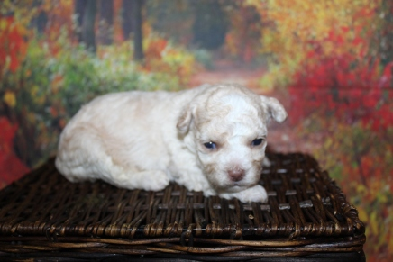 Itsy Bitsy Female CKC Toy Poodle $2000 Ready 10/30 HAS DEPOSIT MY NEW HOME ORLANDO, FL 1lb 2W5D old