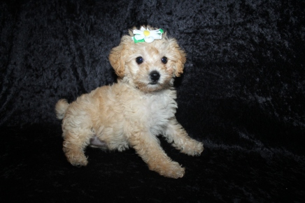Nala Female CKC Schnoodle$2000 Ready 5/16 HAS DEPOSIT MY NEW HOME Beaufort, SC 2lbs 5oz 7W4D old
