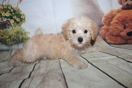 Pumba (Buddy) Male CKC Schnoodle$2000 Ready 5/16 HAS DEPOSIT MY NEW HOME MIAMI, FL 3lbs 5oz 7W4D old