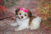 Brandy (Gracie) Female CKC Shihpoo $2000 Ready 8/1 SOLD MY NEW HOME ST MARYS, GA 1lb 7oz 7W3D Old