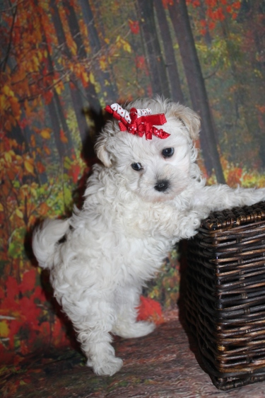 Lola (Bella) Female CKC Maltipoo $2000 Ready 9/26 SOLD MY NEW HOME Jacksonville, FL 1 lb 12oz 7 Weeks Old