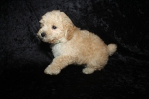 Mufasa Male CKC Schnoodle$2000 Ready 5/16 HAS DEPOSIT MY NEW HOME ST JOHNS, FL 3lbs 2oz 7W4D old