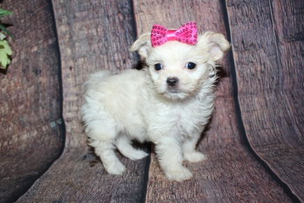 Champagne (CC) Female Miki $2000 Ready 10/24 SOLD MY NEW HOME HOLLY HILLS, FL1lb 1oz 6W4D old