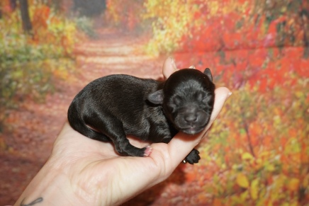 Donut Female CKC Morkipoo $2000 Ready 11/28 HAS DEPOSIT MY NEW HOME 4.2 oz JUST BORN