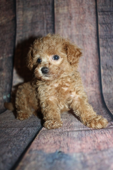 Gatsby Male CKC Shihpoo $2000 Ready 10/15 HAS DEPOSIT MY NEW HOME JACKSONVILLE, FL 1lb 12oz 6W4D old