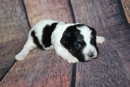 Harvest Female CKC Teddy Bear (Shihcon) $2000 Ready 11/24 HAS DEPOSIT MY NEW HOME CLEARWATER, FL 1lb 3oz 2W1D old